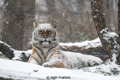 Febraury-Color-Group-B_Frohlich_Seth_Bengal-Tiger
