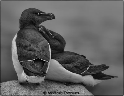 February-Black-and-White_Tompkins_Anastasia_razorbills-machias-seal-island