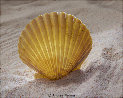 May Theme Shells_Nelson_Andrea_Sea Shell