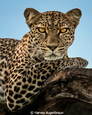 October-Color-Group-AA_Augenbraun_Harvey_Resting-Leopard