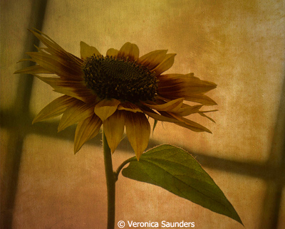 September-Color-Group-AA_Saunders_Veronica_NYBG-Sunflower